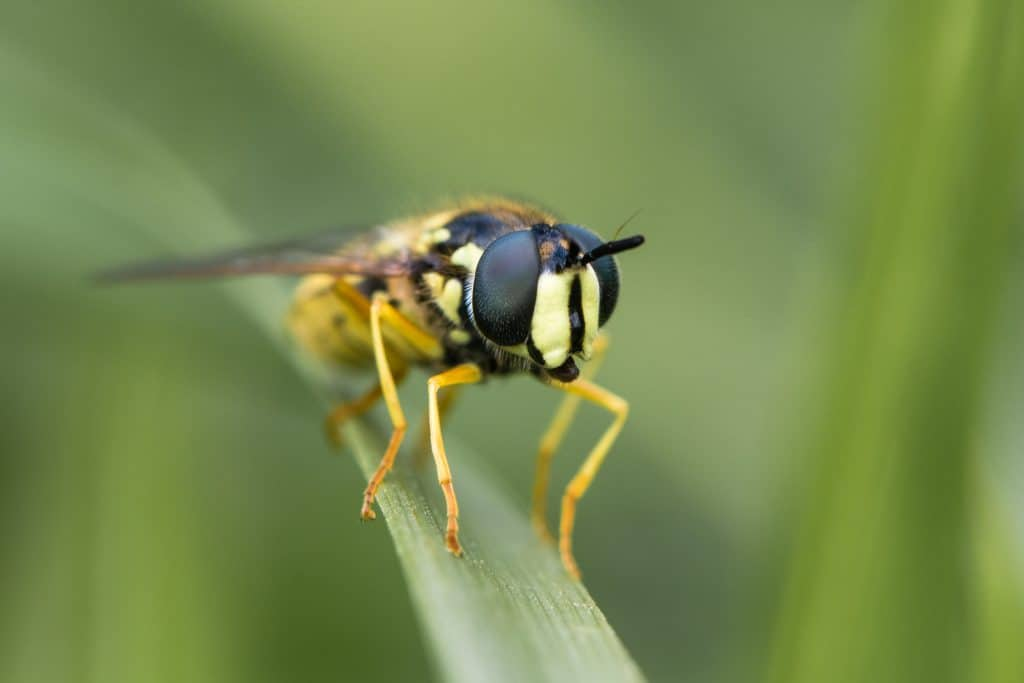 Large and boldly coloured wasp mimic in the family Syrphidae, at rest on grass